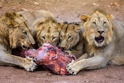 lion feeding Idwala View, Self-Catering, 5 Star, Luxury Mabalingwe Lodge