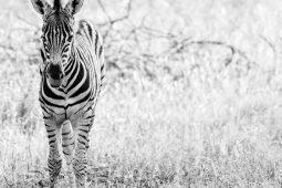 Idwala View, Accommodation, En-suite, Luxurious, Safari, Zebra
